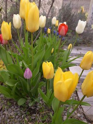 Tulip_2011_2