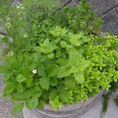 Herb_pot