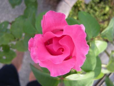 Mac_rose