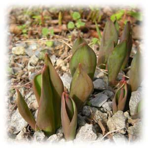 Tulip_2010