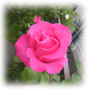 Mac_rose2010_3