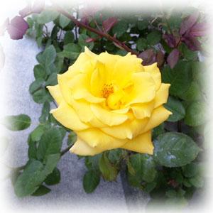 Rosa_yellow