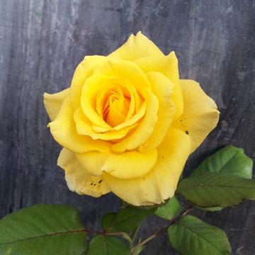 Kiseki_rose